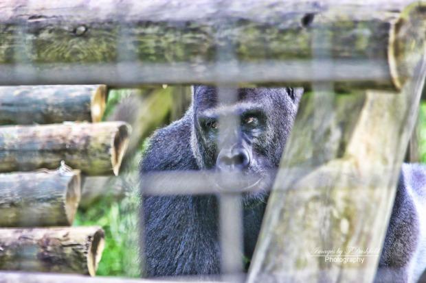 Gorilla-3853hdr