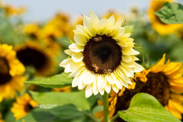 sunflowers, honeybees, nature photography, Ohio nature, sunflower field, s'miles of sunflowers